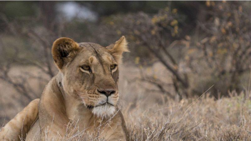 Una leona amamanta a un cachorro de leopardo y deja de piedra a los naturalistas