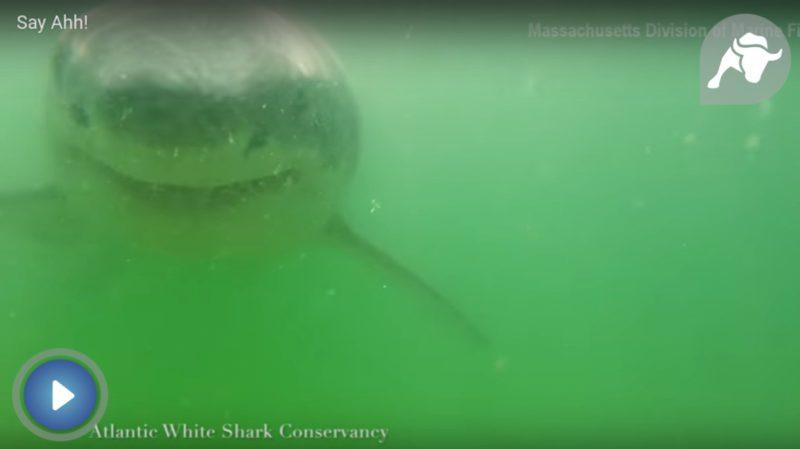 Las impresionantes imágenes de un tiburón blanco captadas por un submarinista